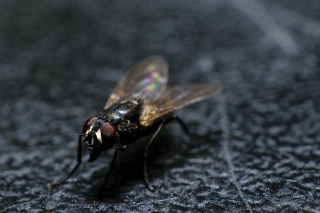 Extreme Close-Up Of Ordinary House Fly On Black Surface Stock Photo