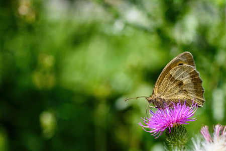 Close-Up Of Intricate Male Meadow Brown Butterfly Or Maniola Jurtina With Underwing Perched On Pink Thistle Stock Photo