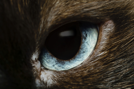 Extreme Close-Up Of Intricate Light Blue Eye Of Birman Cat Looking At Camera Stock Photo