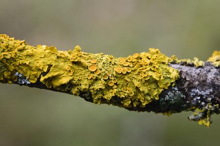 枝に成長している黄 Xanthoria Parietina 地衣の極端なクローズ アップ