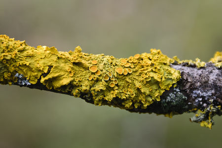 Extreme Close-up of Yellow Xanthoria Parietina Lichen Growing on Branch