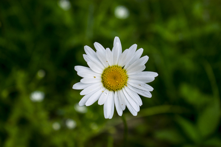 living organism: High Angle View Of Chamomile Or Matricaria Chamomilla With Dew And Pollen During Morning On Green Natural Background