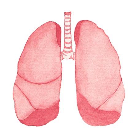bosom: Acuarela pulmones humanos realistas sobre el fondo blanco, acuarela. Ilustraci�n del vector. Dibujado a mano elemento decorativo �til para las invitaciones, scrapbooking, dise�o.