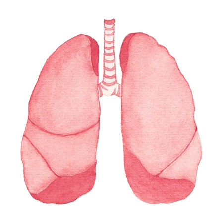 pleura: Watercolor realistic human lungs on the white background, aquarelle.  Vector illustration. Hand-drawn decorative element useful for invitations, scrapbooking, design.