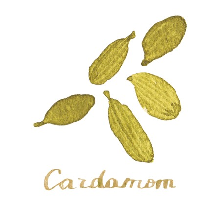 Watercolor cardamom on the white background