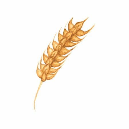 winter wheat: Watercolor ear of wheat on the white background