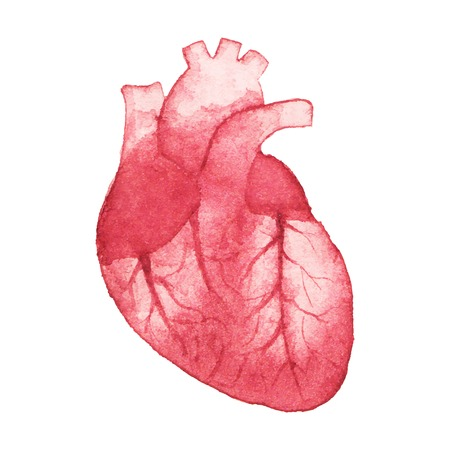 circulatory: Watercolor realistic heart on the white background Illustration
