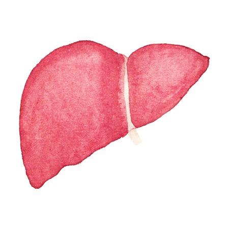Watercolor realistic human liver on the white background.  Vector