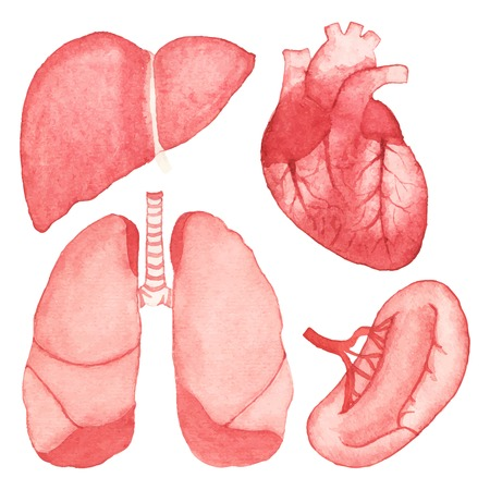 Watercolor set of human internal organs on the white background.  Ilustração