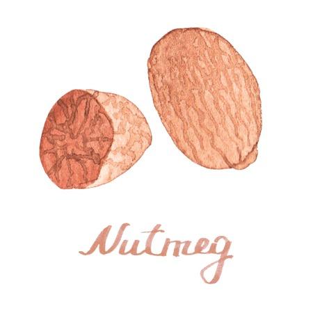 nutmeg: Watercolor nutmeg on the white background Illustration