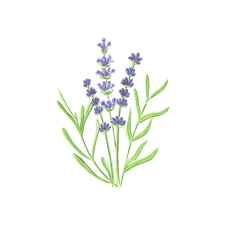 provence: Watercolor lavender on the white background, aquarelle. Vector illustration. Hand-drawn floral decorative element useful for invitations, scrapbooking, design.