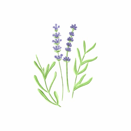 Lavender. Watercolor lavanda on the white background, aquarelle. Vector illustration. Hand-drawn floral decorative element useful for invitations, scrapbooking, design. Ilustração