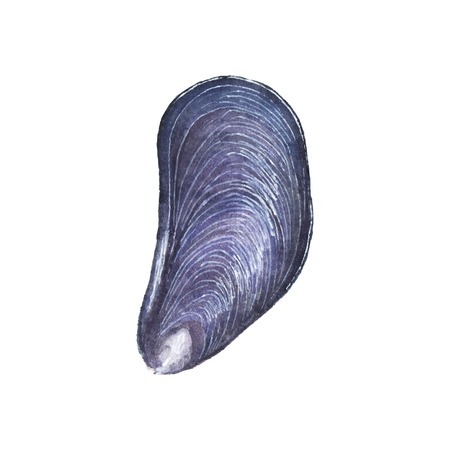 mussel: Watercolor mussel on the white background, aquarelle. Vector illustration. Hand-drawn decorative element. Seafood and marine cuisine Illustration