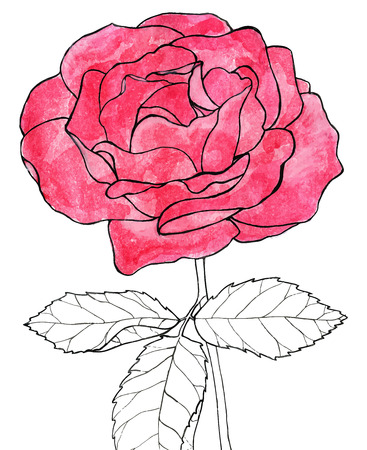 nature one painted: Rose. Hand-drawn flower. Real watercolor drawing. Vector illustration. Traced painting