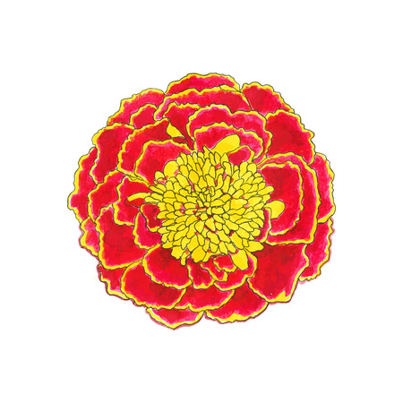 Marigold. Hand-drawn flower. Real watercolor drawing. Vector illustration. Traced painting