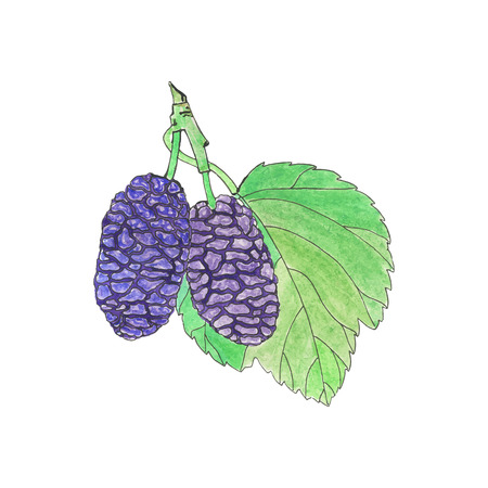 traced: Mulberry. Hand-drawn berries. Real watercolor drawing. Vector illustration. Traced painting