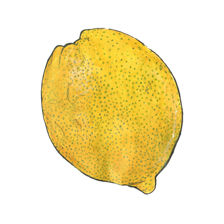 harvest time: Lemon. Hand-drawn fruit. Real watercolor drawing. Vector illustration. Traced painting