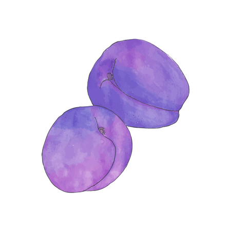 traced: Plums. Hand-drawn fruits. Real watercolor drawing. Vector illustration. Traced painting