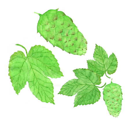 brewing: Hop, beer brewing set. Hand-drawn hops flower and leaves. Real watercolor drawing. Stock Photo