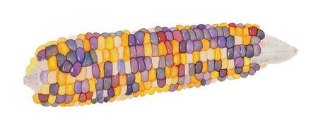 sweetcorn: Corn. Hand-drawn vegetable  - colorful indian corn. Real watercolor drawing.