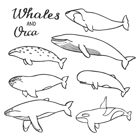 humpback: Whales and orca set. Hand-drawn cartoon collection of sea mammals - killer, sperm, blue, humpback, grey, fin, bowhead whales and cachalot. Doodle drawing. Vector illustration