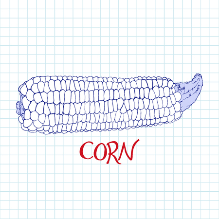 notebook page: Corn sketch.  Hand-drawn cartoon cob of corn icon. Doodle pen drawing on the notebook page. Vector illustration