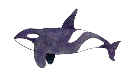 orcinus: Orca or killer whale. Hand-drawn animal - Orcinus orca on the white background. Real watercolor drawing. Stock Photo