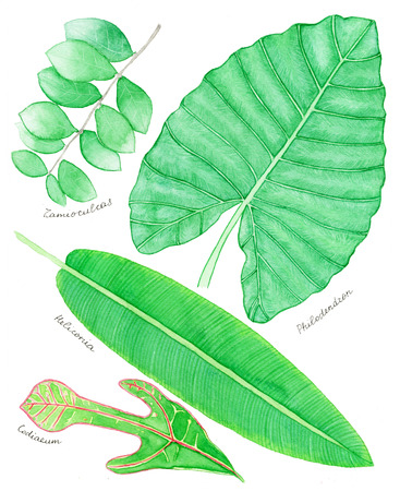 monstera: Topical leaf set. Hand-drawn isolated leaves -palm, monstera, heliconia, exotic plants. Real watercolor drawing.