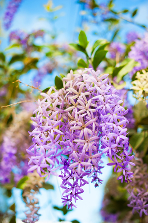 petrea: Sandpaper vine or Queens wreath plant over nature background, beautiful spring flowers Stock Photo