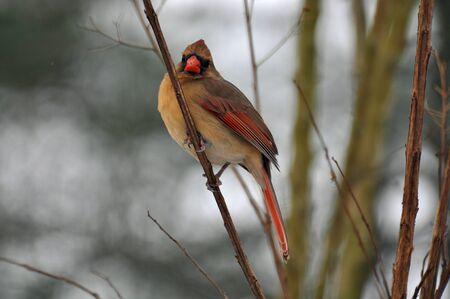 female cardinal: Female Cardinal on Branch