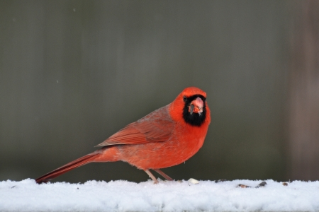 Male Cardinal in Snow photo