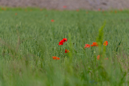 Field of poppies in the south of Russia