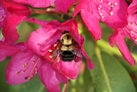 Bumblebee on Pink Rhododendron Stock Photo