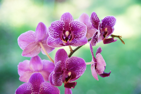 house plant: Purple Bletilla Orchid House Plant Stock Photo