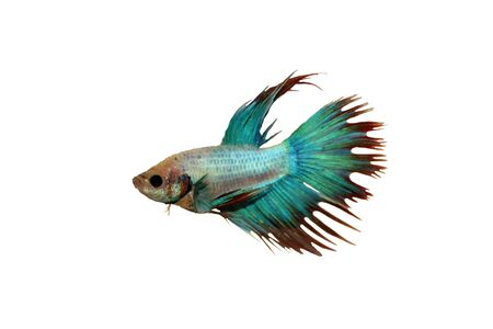 Betta fish, siamese fighting fish Stock Photo
