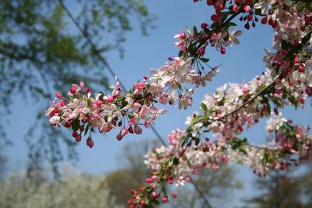 Spring cherry tree flowers Stock Photo