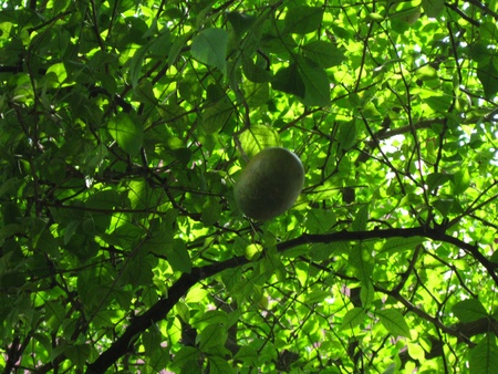 BAEL FRUIT HANGING FROM TREE