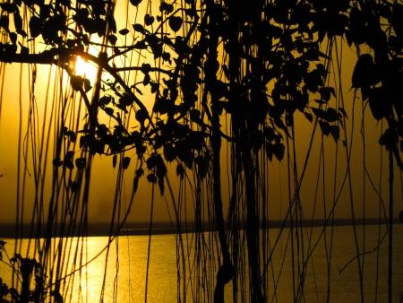 peepal tree: sunset from behind peepal tree