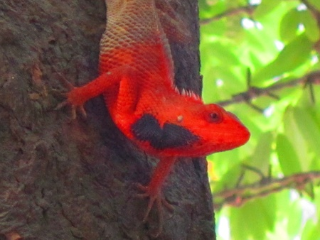 chameleon or lizard changing colour