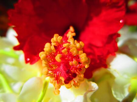 CLOSE UP OF HIBISCUS Stock Photo - 14007873