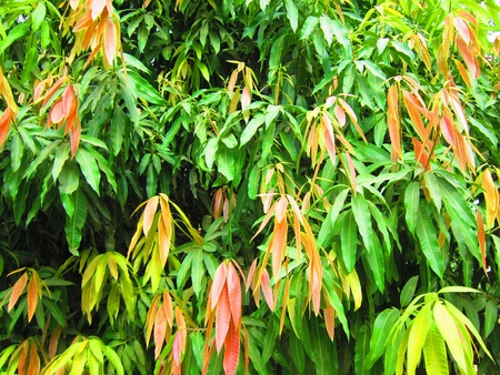COLOURFUL MANGO LEAVES IN ORCHARD