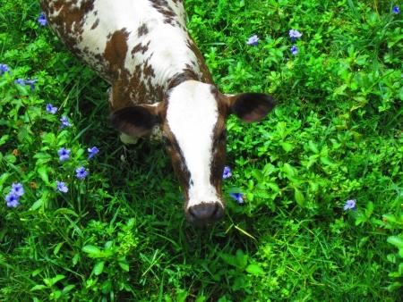 facing the camera: COW FACING CAMERA AT GREEN