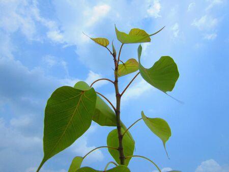 banyan: banyan plant in sky