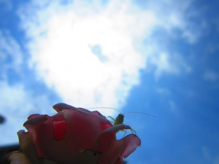 RED ROSE AND SKY
