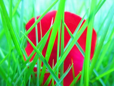 ROSE PETAL IN GREEN GRASS photo
