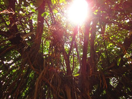 Sunrays flowing through bodhi tree,  Ficus religiosa   BODHGAYA