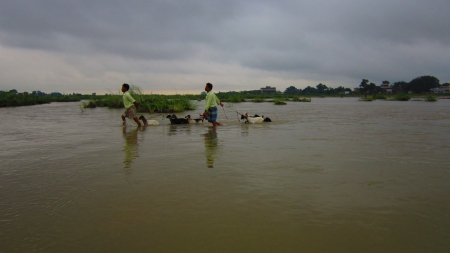 Locals crossing Niranjana river with livestock. Shot at 0554 am on 11.08.12 at Bodhgaya, Bihar, India, Asia.