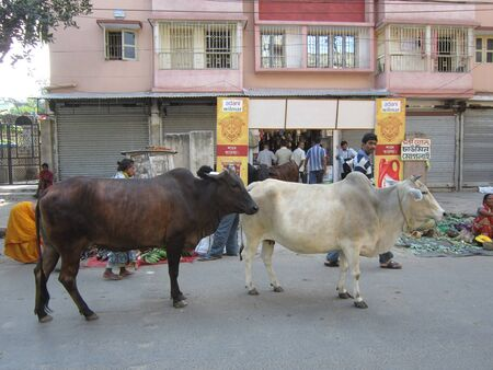 calcutta: COW ON STREET.SHOT AT CALCUTTA, INDIA: AFTERNOON HOURS ON NOVEMBER 18,2012.