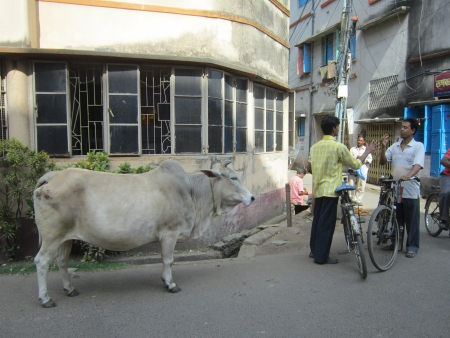india cow: COW STANDING ON ROAD.SHOT AT CALCUTTA, INDIA: AFTERNOON HOURS ON NOVEMBER 18,2012. Editorial
