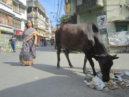 calcutta: COW EATING ON ROAD.SHOT AT CALCUTTA, INDIA: AFTERNOON HOURS ON NOVEMBER 18,2012.